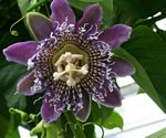 Passiflora 'Blue_Moon'
