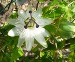 Passiflora White Wedding'